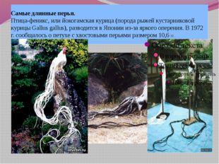 Самые длинные перья. Птица-феникс, или йокогамская курица (порода рыжей куста