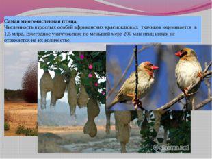 Самая многочисленная птица. Численность взрослых особей африканских красноклю