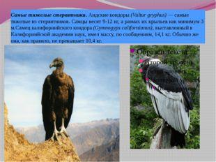 Самые тяжелые стервятники. Андские кондоры (Vultur gryphus) — самые тяжелые и