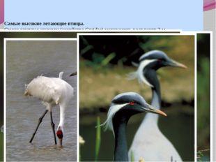 Самые высокие летающие птицы. Самые крупные журавли (семейство Gruidae) могу