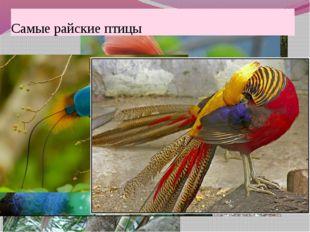 Самые райские птицы