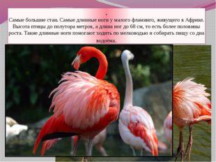. Самые большие стаи. Самые длинные ноги у малого фламинго, живущего в Африке