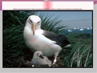 Наибольшая продолжительность жизни у королевского альбатроса — до 80 лет. Об