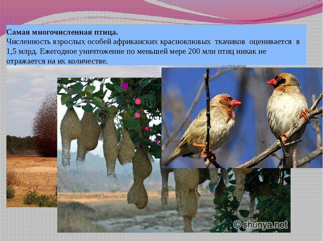 Самая многочисленная птица. Численность взрослых особей африканских красноклю...