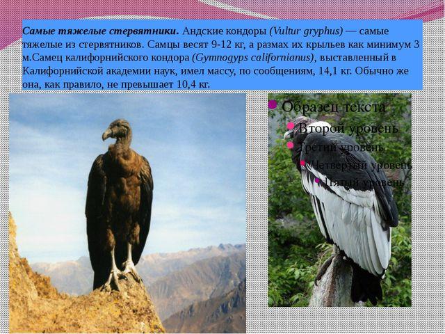 Самые тяжелые стервятники. Андские кондоры (Vultur gryphus) — самые тяжелые и...