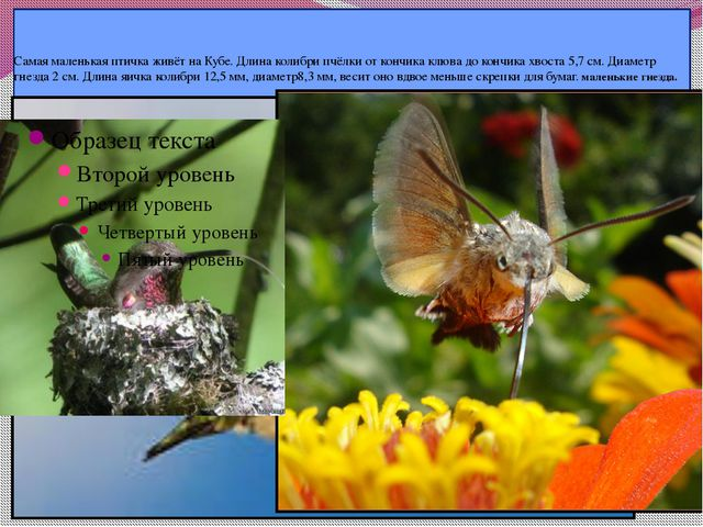 Самая маленькая птичка живёт на Кубе. Длина колибри пчёлки от кончика клюва...