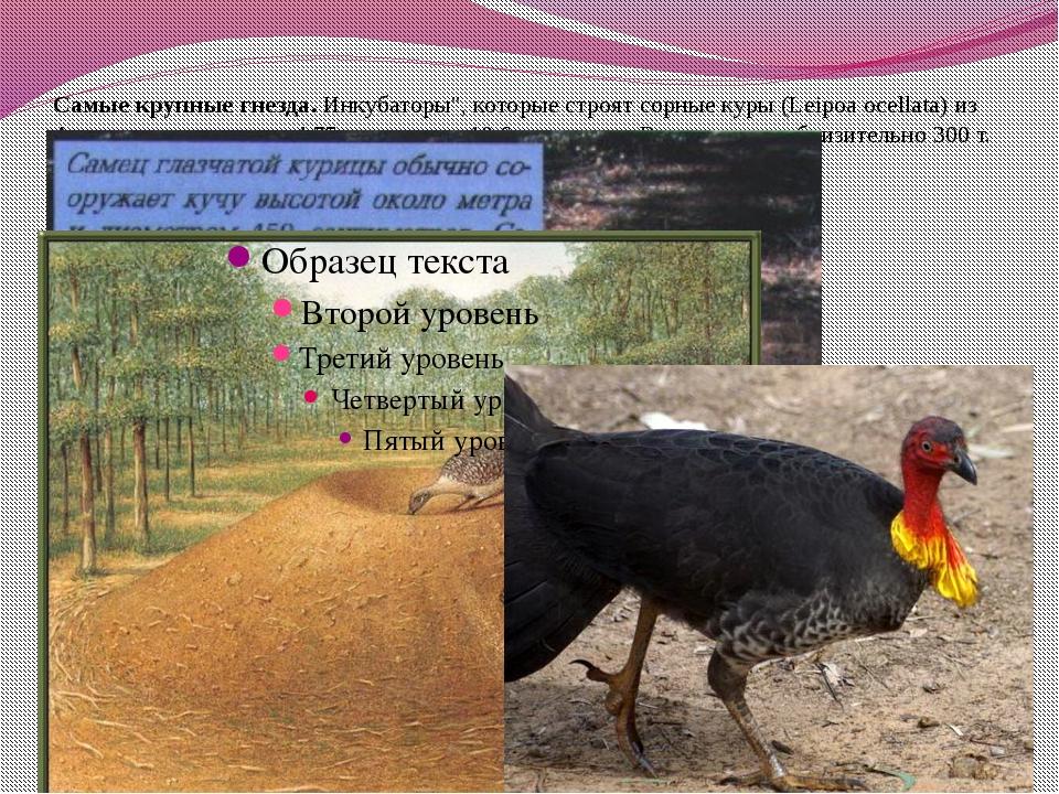"""Самые крупные гнезда. Инкубаторы"""", которые строят сорные куры (Leipoa ocellat..."""