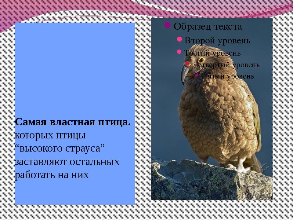 """Самая властная птица. которых птицы """"высокого страуса"""" заставляют остальных р..."""