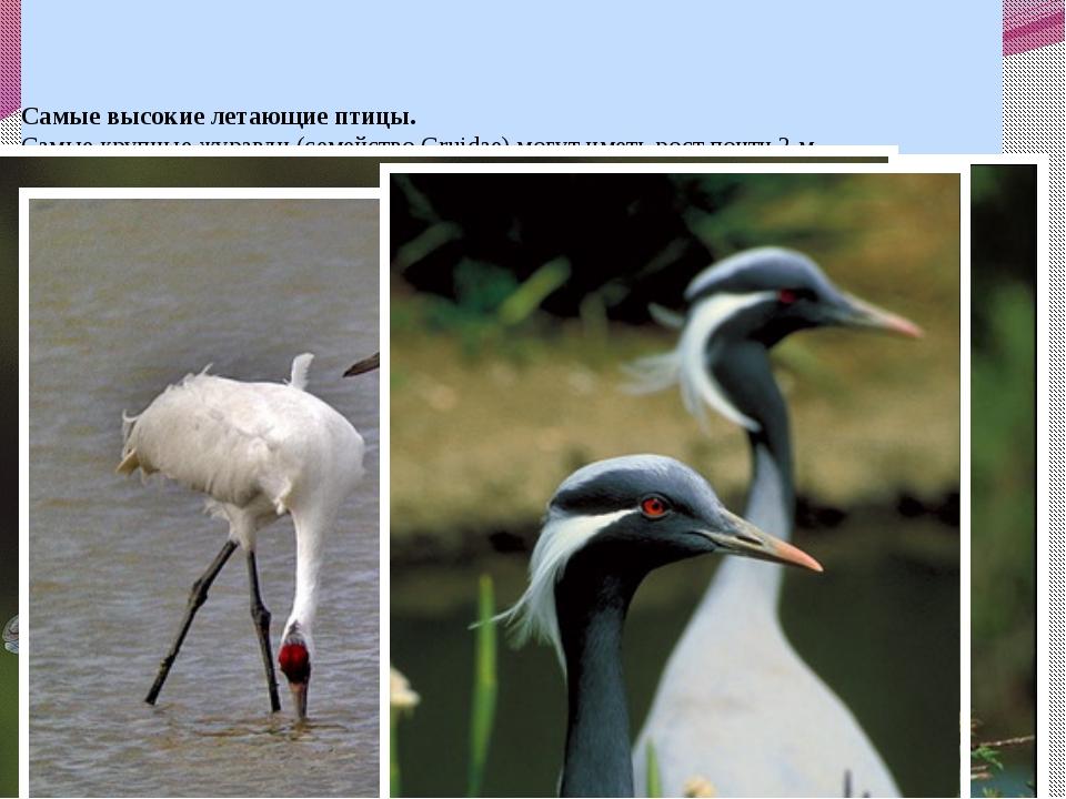 Самые высокие летающие птицы. Самые крупные журавли (семейство Gruidae) могу...
