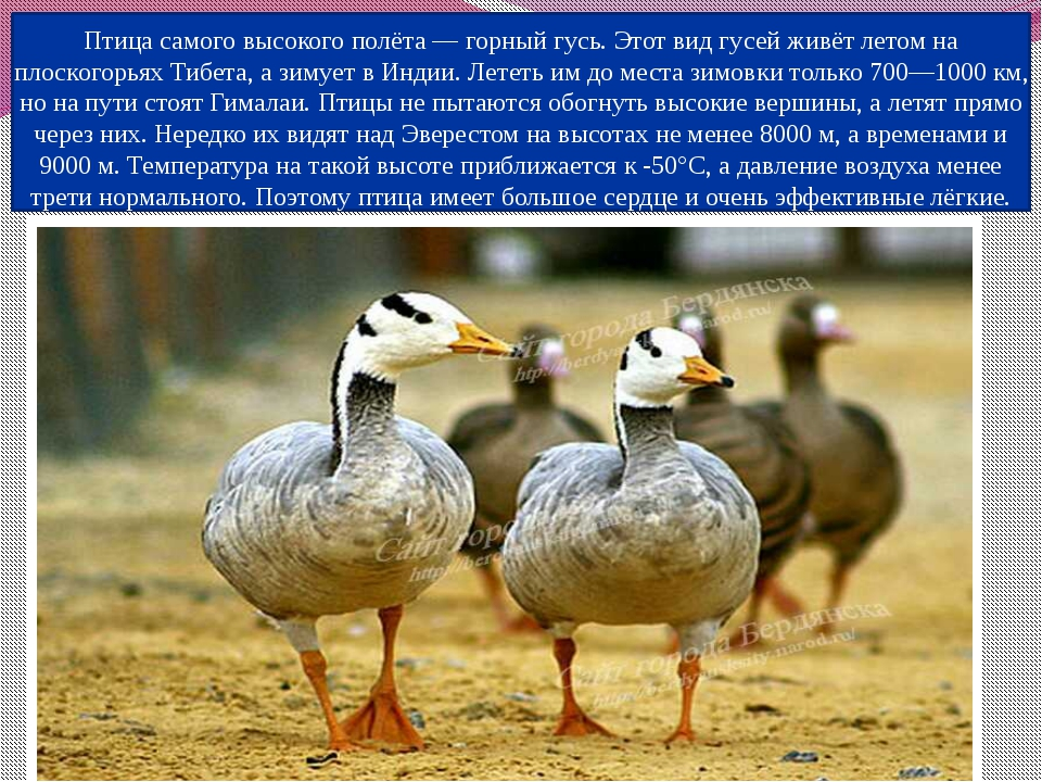 Птица самого высокого полёта — горный гусь. Этот вид гусей живёт летом на пло...