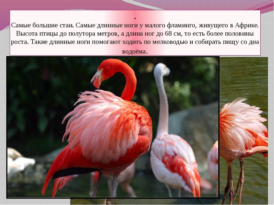 . Самые большие стаи. Самые длинные ноги у малого фламинго, живущего в Африке...