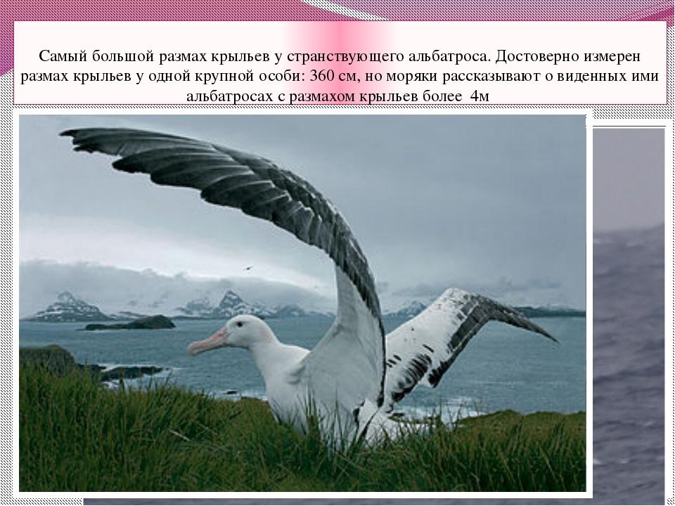 Самый большой размах крыльев у странствующего альбатроса. Достоверно измерен...