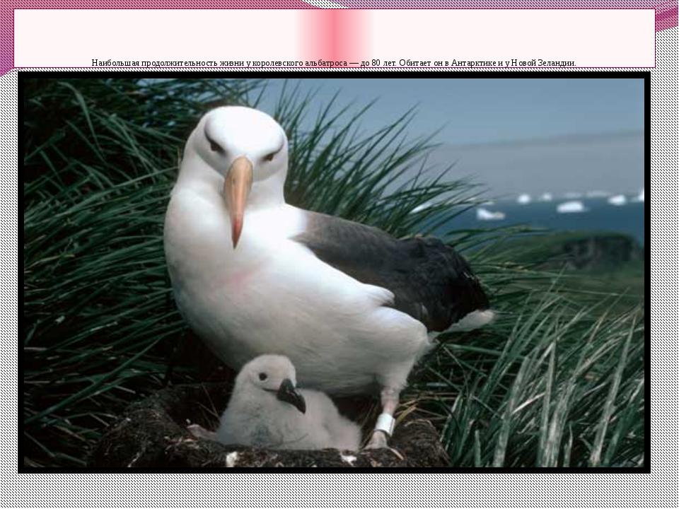 Наибольшая продолжительность жизни у королевского альбатроса — до 80 лет. Об...