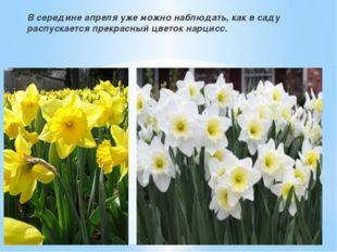 В середине апреля уже можно наблюдать, как в саду распускается прекрасный цв