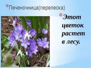 Этот цветок растет в лесу. Печеночница(перелеска)