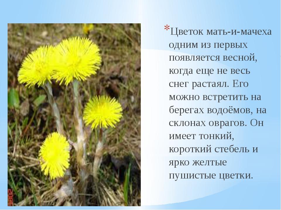 Цветок мать-и-мачеха одним из первых появляется весной, когда еще не весь сн...