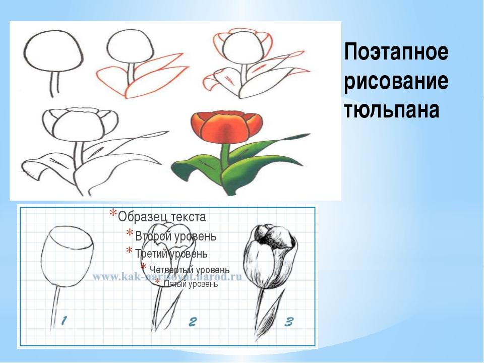 Поэтапное рисование тюльпана