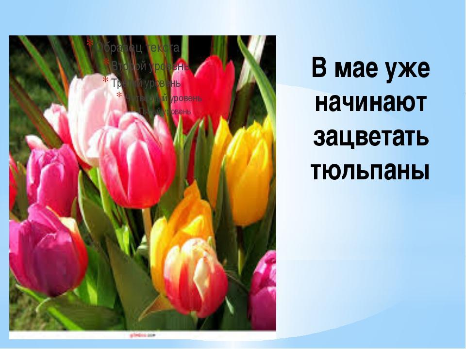 В мае уже начинают зацветать тюльпаны