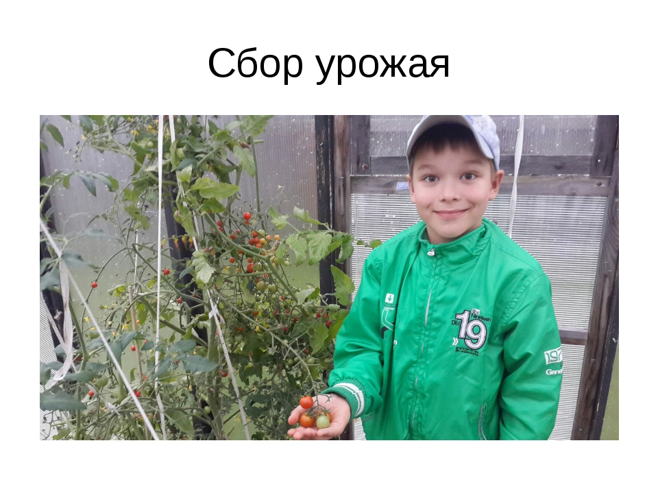Сбор урожая