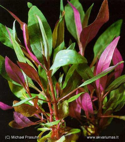 C:\Users\User\Desktop\Alternanthera_reineckii_Roseafolia.jpg