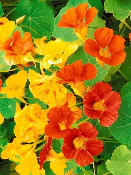 C:\Users\User\Desktop\Новая папка\1275817789_nasturtium-flowers.jpg