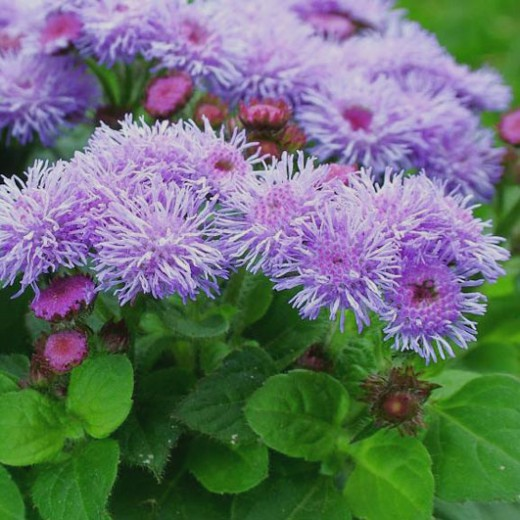 C:\Users\User\Desktop\Новая папка\Ageratum_haus-520x520.jpg