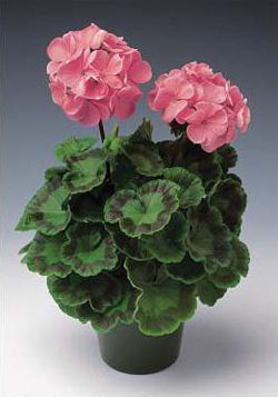C:\Users\User\Desktop\25.Pelargonium_ hortorum-2.jpg