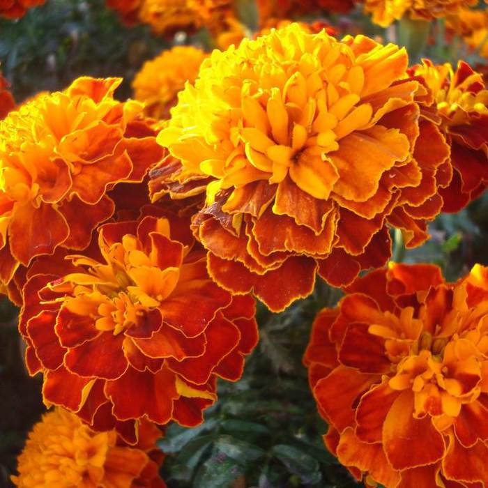 C:\Users\User\Desktop\Новая папка\97545358_Tagetes1.jpg