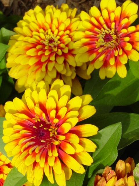 C:\Users\User\Desktop\Zinnia, Swizzle Scarlet and Yellow, closeup.jpg