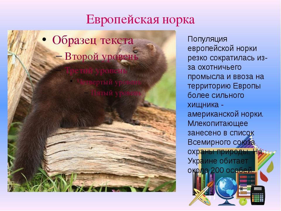 Европейская норка Популяция европейской норки резко сократилась из-за охотнич...
