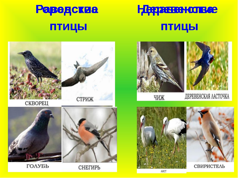 Городские птицы Неравенства Равенства Деревенские птицы