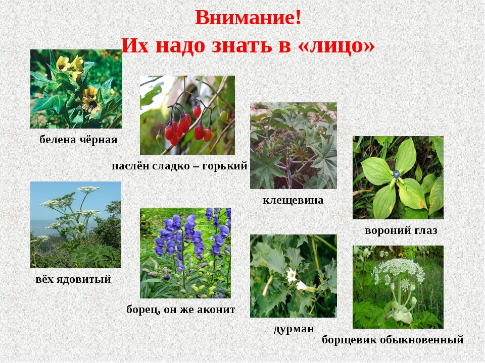 Ядовитые растения и название и описание для детей 56