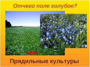 Отчего поле голубое? лён Прядильные культуры