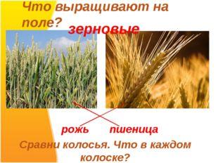 Что выращивают на поле? рожь пшеница Сравни колосья. Что в каждом колоске? зе