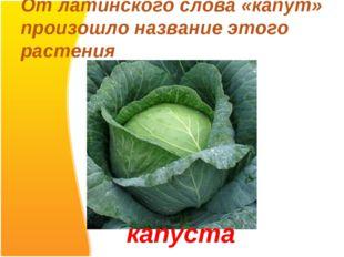 От латинского слова «капут» произошло название этого растения капуста