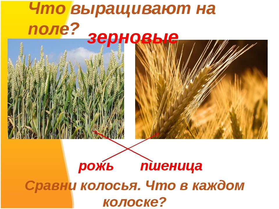 Что выращивают на поле? рожь пшеница Сравни колосья. Что в каждом колоске? зе...