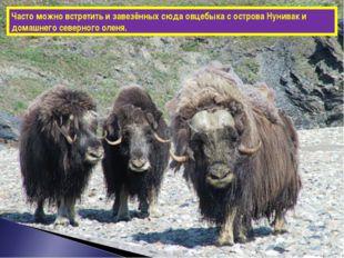 Часто можно встретить и завезённых сюда овцебыка с острова Нунивак и домашнег
