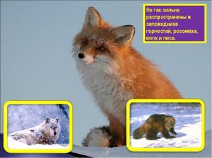 Не так сильно распространены в заповеднике горностай, росомаха, волк и лиса.