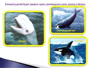 Большой удачей будет увидеть здесь гренландского кита, касатку и белуху. Грен