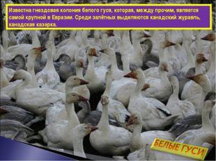 Известна гнездовая колония белого гуся, которая, между прочим, является самой
