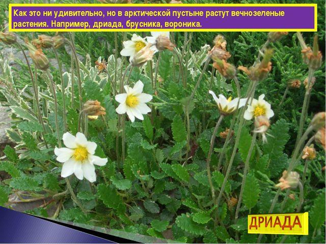 Как это ни удивительно, но в арктической пустыне растут вечнозеленые растения...