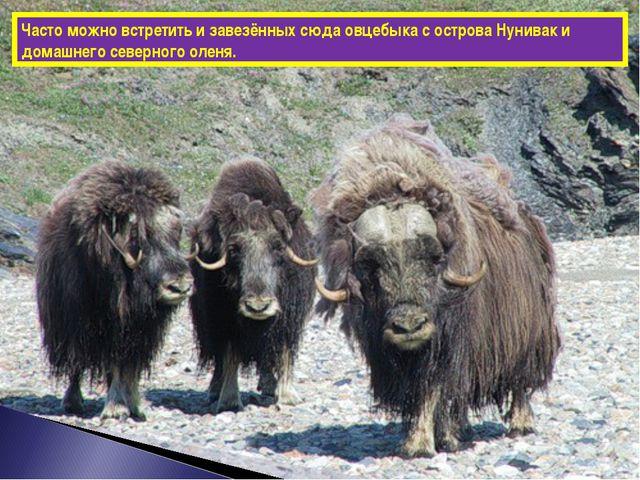 Часто можно встретить и завезённых сюда овцебыка с острова Нунивак и домашнег...