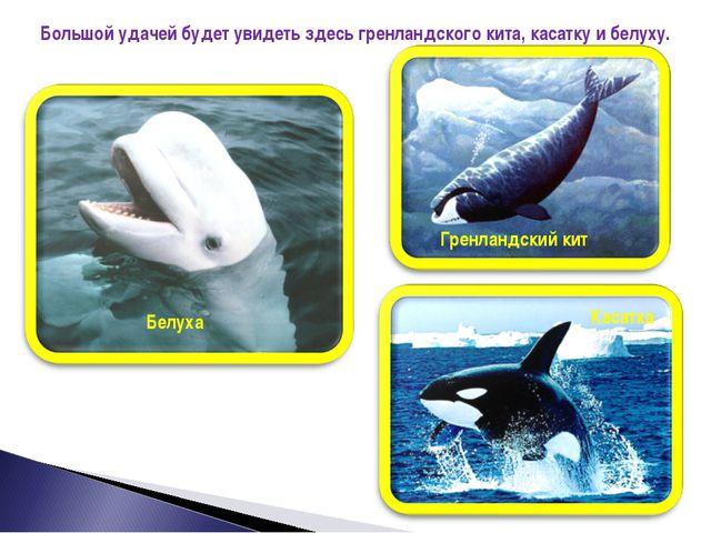 Большой удачей будет увидеть здесь гренландского кита, касатку и белуху. Грен...
