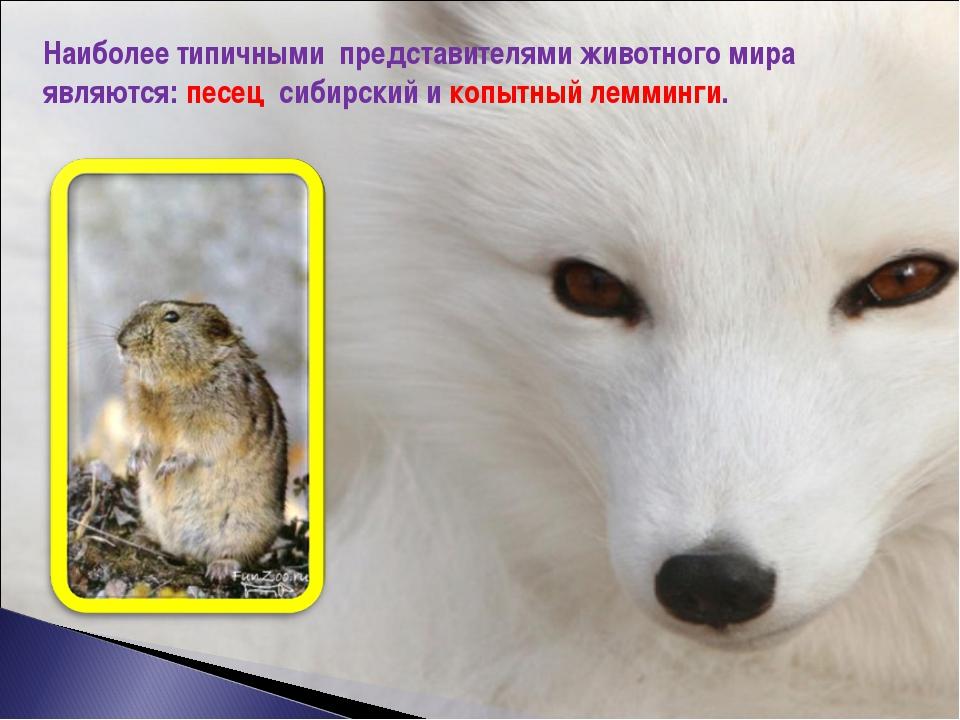 Наиболее типичными представителями животного мира являются: песец сибирский и...