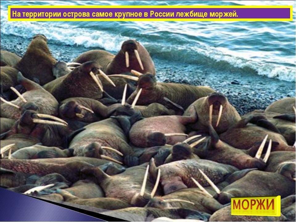 На территории острова самое крупное в России лежбище моржей.