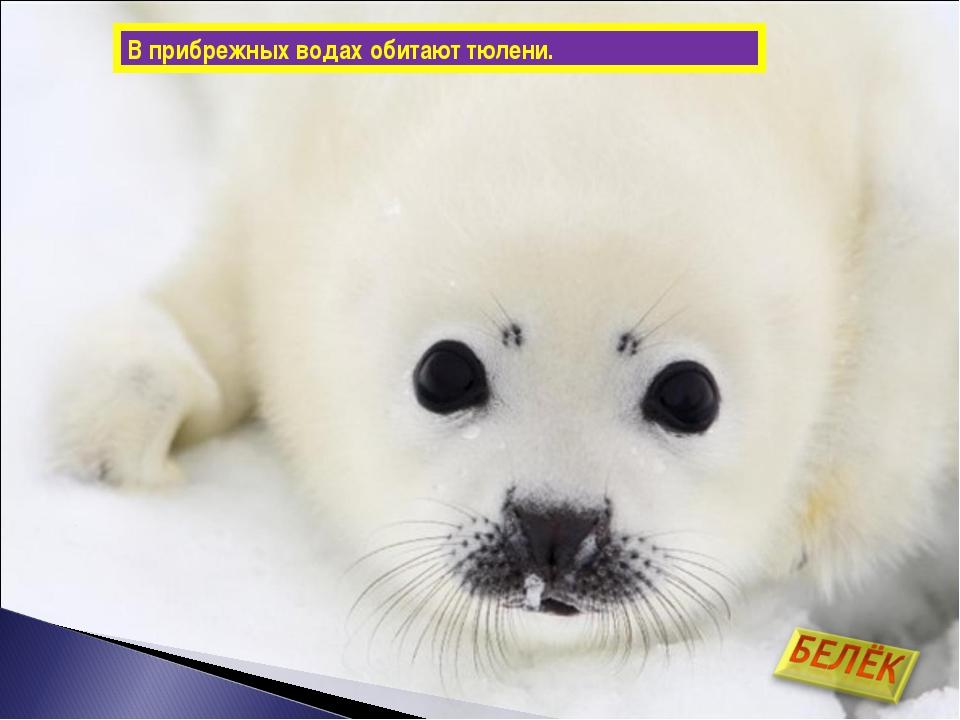 В прибрежных водах обитают тюлени.