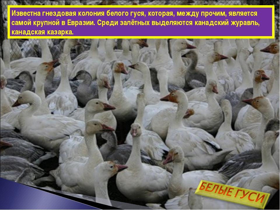 Известна гнездовая колония белого гуся, которая, между прочим, является самой...