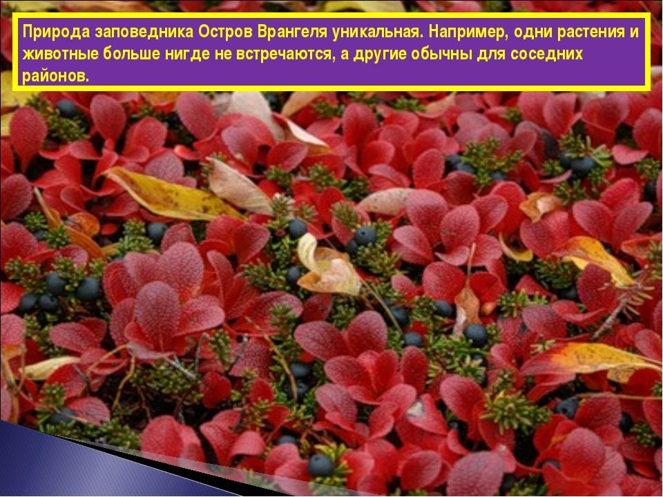 Природа заповедника Остров Врангеля уникальная. Например, одни растения и жив...