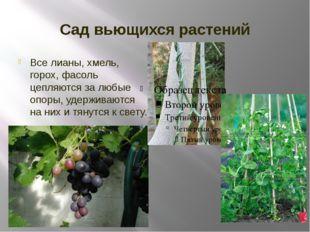 Сад вьющихся растений Все лианы, хмель, горох, фасоль цепляются за любые опор