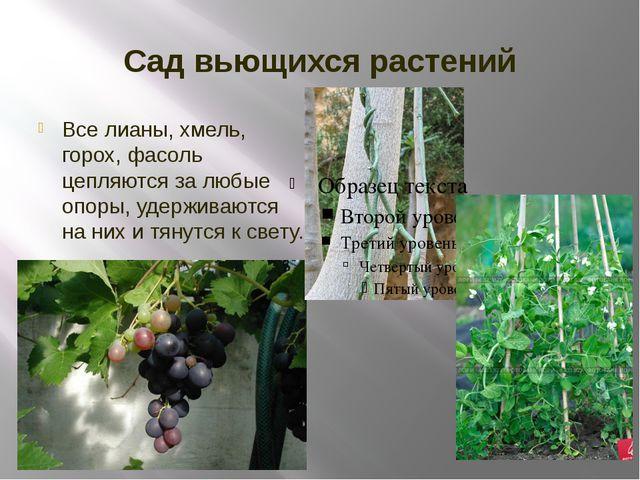 Сад вьющихся растений Все лианы, хмель, горох, фасоль цепляются за любые опор...